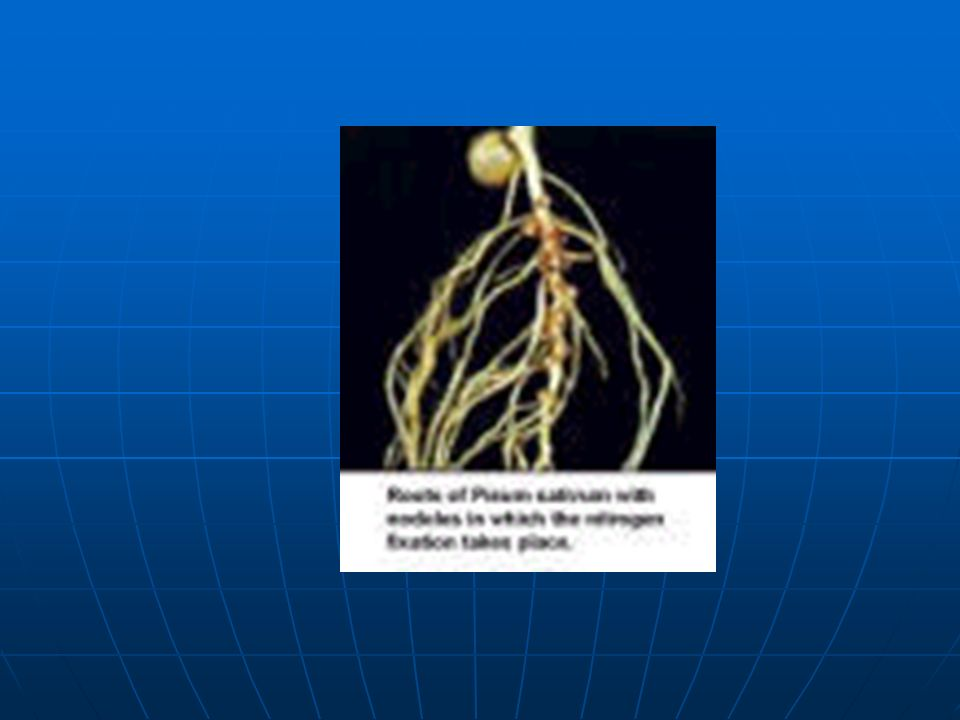 Gübreleme Gübreleme Bezelye kendinden önce yetiştirilmiş bitkilere verilen gübrelerden faydalanmaktadır.