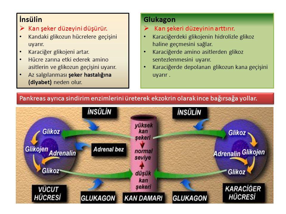 İnsülin  Kan şeker düzeyini düşürür. Kandaki glikozun hücrelere geçişini uyarır.