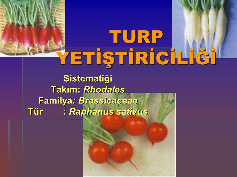 TURP YETİŞTİRİCİLİĞİ Sistematiği Takım: Rhodales Familya: Brassicaceae Tür : Raphanus sativus