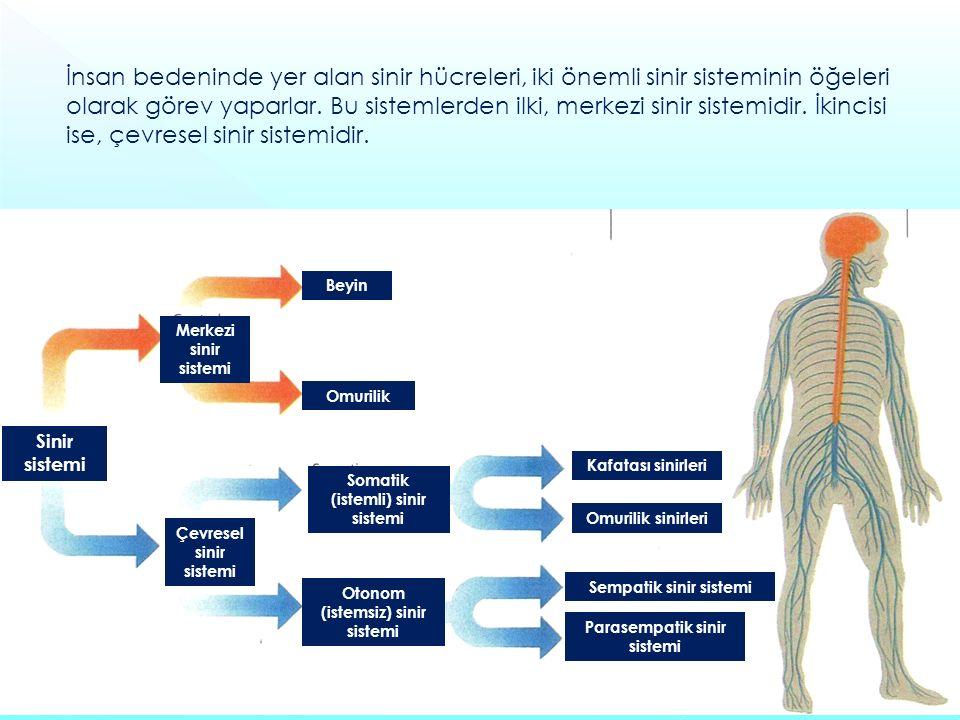 Sinir sistemi Beyin Omurilik Merkezi sinir sistemi Çevresel sinir sistemi Somatik (istemli) sinir sistemi Otonom (istemsiz) sinir sistemi Sempatik sinir sistemi Parasempatik sinir sistemi Omurilik sinirleri Kafatası sinirleri İnsan bedeninde yer alan sinir hücreleri, iki önemli sinir sisteminin öğeleri olarak görev yaparlar.
