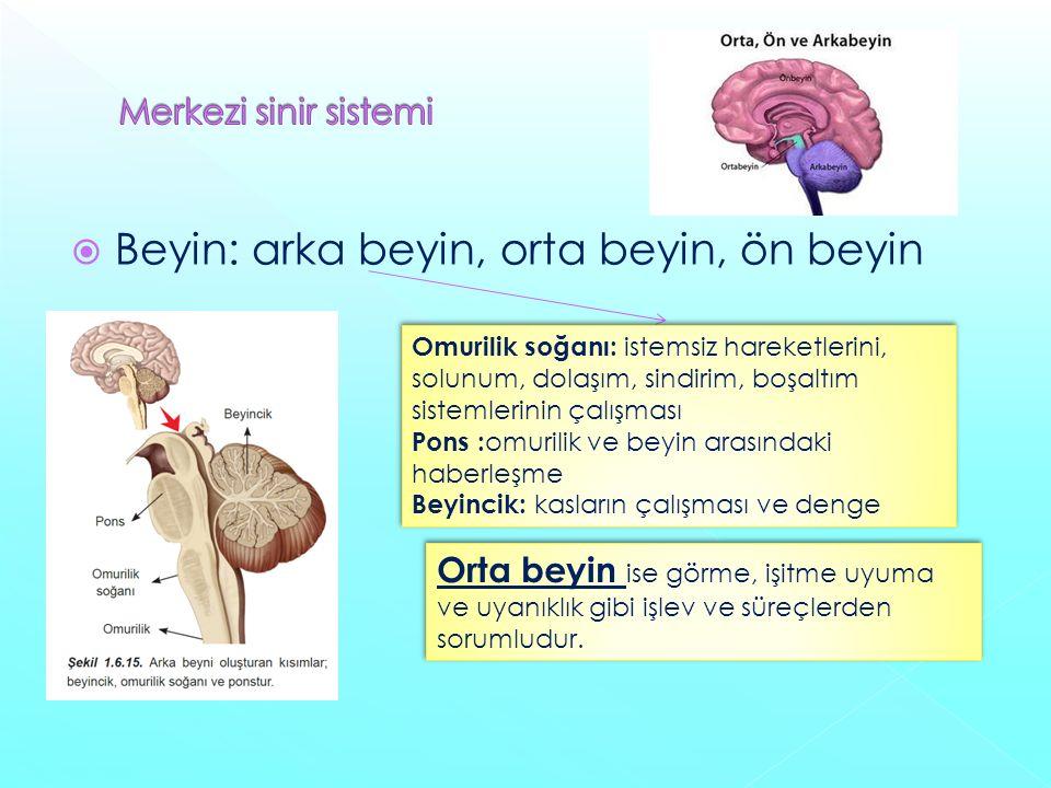  Beyin: arka beyin, orta beyin, ön beyin Omurilik soğanı: istemsiz hareketlerini, solunum, dolaşım, sindirim, boşaltım sistemlerinin çalışması Pons : omurilik ve beyin arasındaki haberleşme Beyincik: kasların çalışması ve denge Omurilik soğanı: istemsiz hareketlerini, solunum, dolaşım, sindirim, boşaltım sistemlerinin çalışması Pons : omurilik ve beyin arasındaki haberleşme Beyincik: kasların çalışması ve denge Orta beyin ise görme, işitme uyuma ve uyanıklık gibi işlev ve süreçlerden sorumludur.