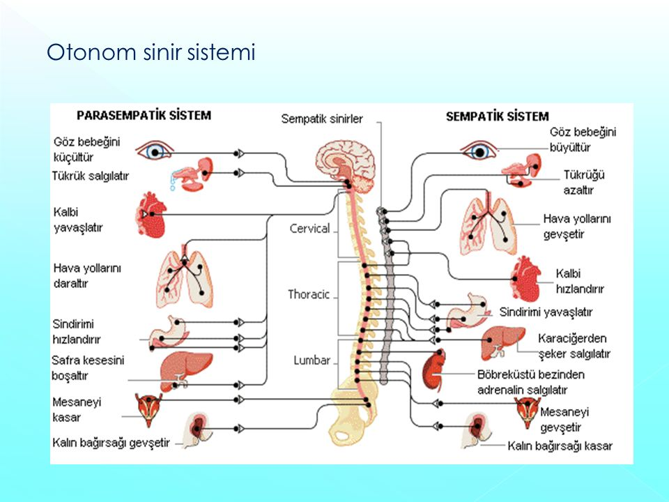 Otonom sinir sistemi