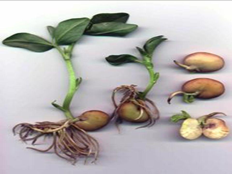 Bakla bitkileri elle veya orakla hasat edilir.
