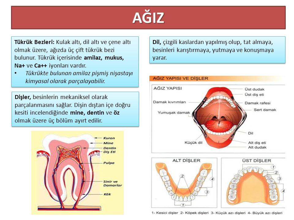 Dişler, besinlerin mekaniksel olarak parçalanmasını sağlar. Dişin dıştan içe doğru kesiti incelendiğinde mine, dentin ve öz olmak üzere üç bölüm ayırt