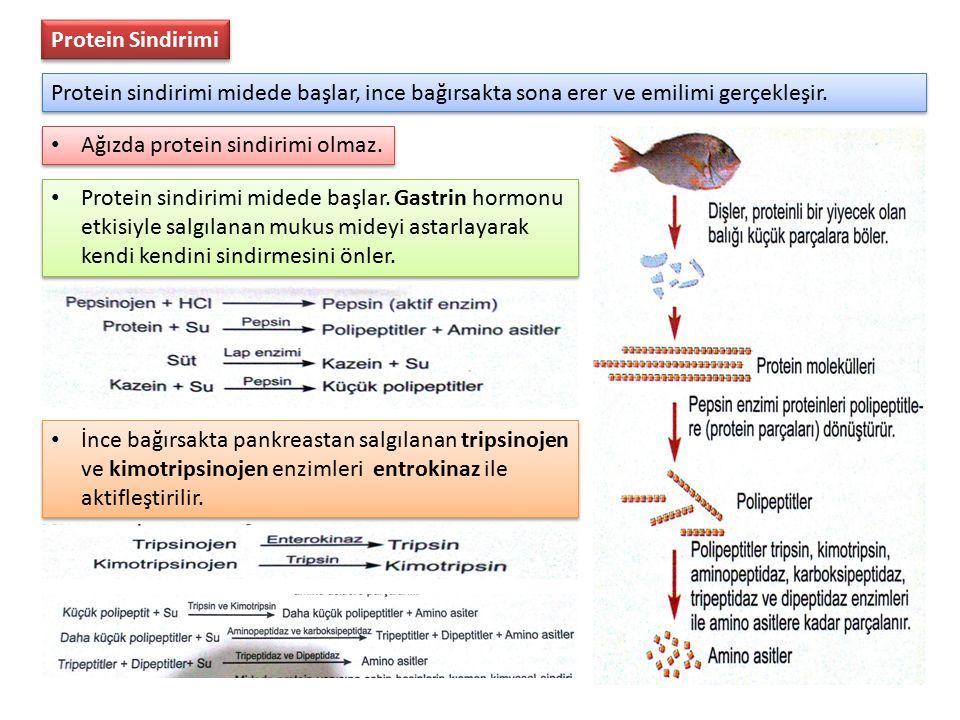 Protein Sindirimi Protein sindirimi midede başlar, ince bağırsakta sona erer ve emilimi gerçekleşir. Ağızda protein sindirimi olmaz. Protein sindirimi