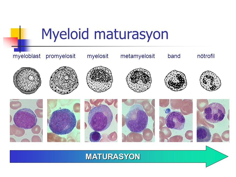 Myeloid maturasyon myeloblastpromyelositmyelositmetamyelositbandnötrofil MATURASYON