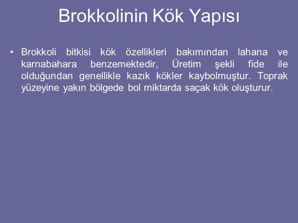 Brokkolinin Kök Yapısı Brokkoli bitkisi kök özellikleri bakımından lahana ve karnabahara benzemektedir, Üretim şekli fide ile olduğundan genellikle ka