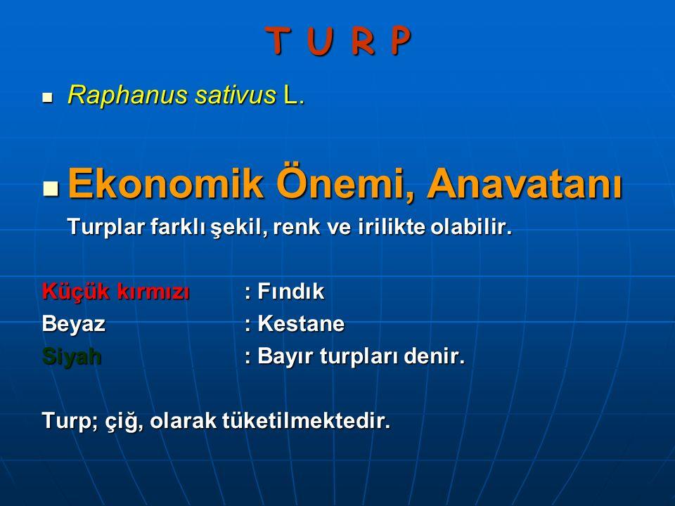 T U R P Raphanus sativus L. Raphanus sativus L. Ekonomik Önemi, Anavatanı Ekonomik Önemi, Anavatanı Turplar farklı şekil, renk ve irilikte olabilir. K