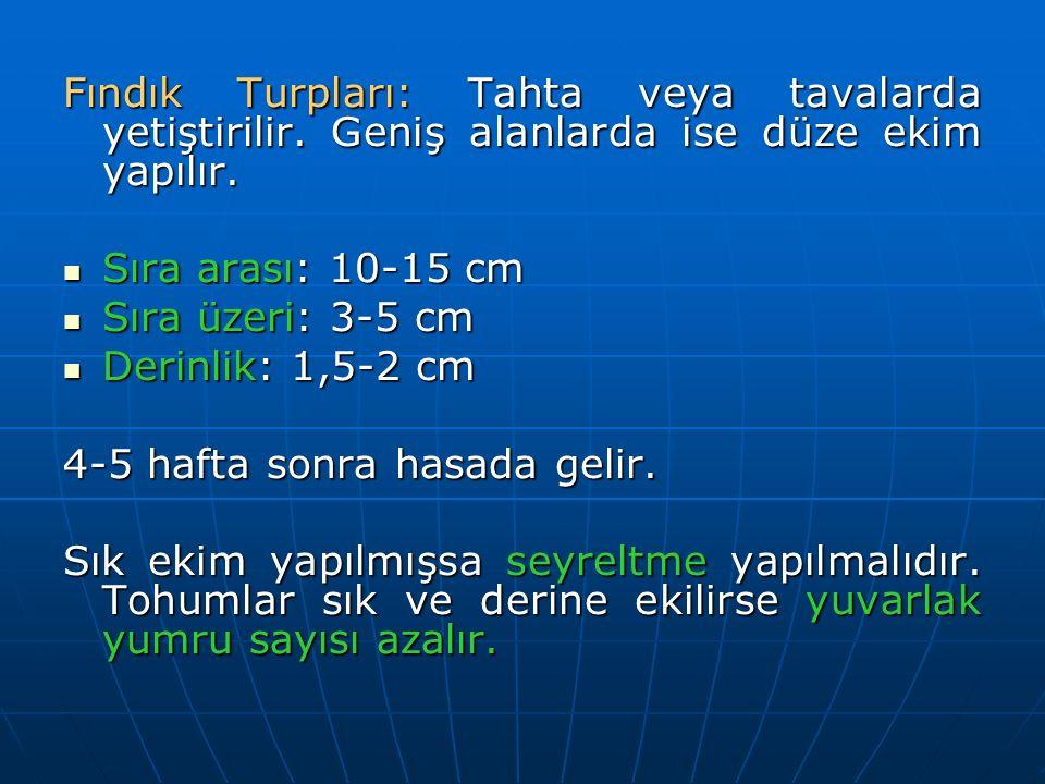 Fındık Turpları: Tahta veya tavalarda yetiştirilir. Geniş alanlarda ise düze ekim yapılır. Sıra arası: 10-15 cm Sıra arası: 10-15 cm Sıra üzeri: 3-5 c