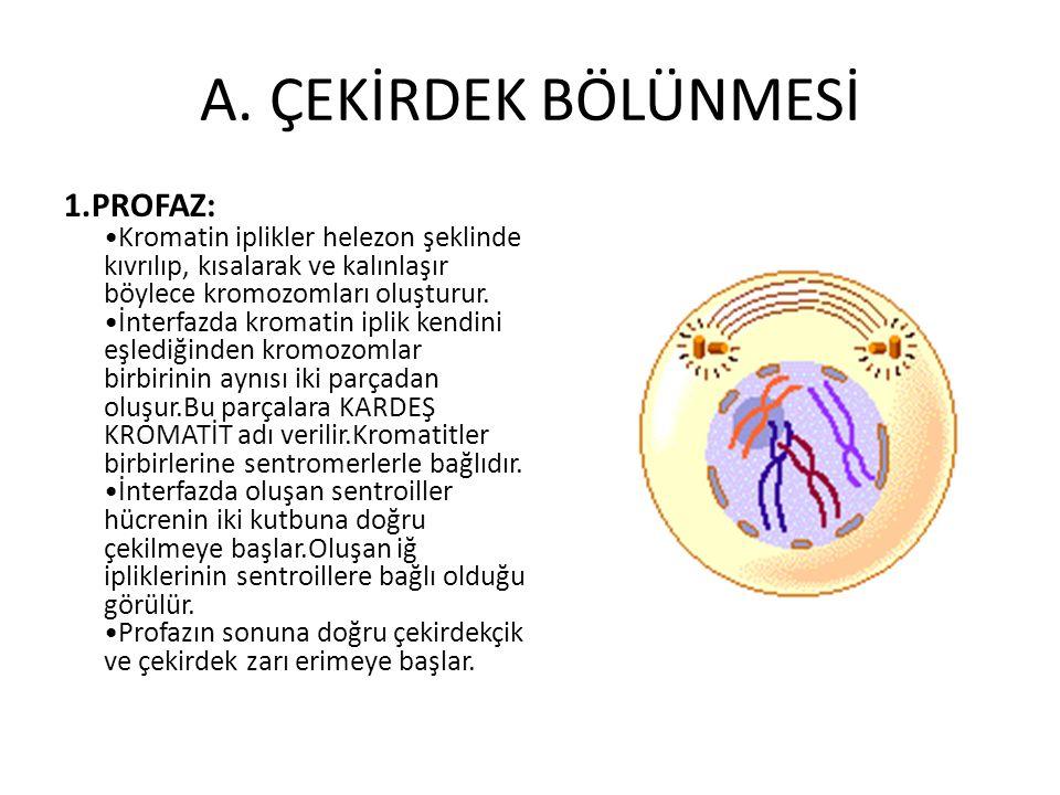 A. ÇEKİRDEK BÖLÜNMESİ 1.PROFAZ: Kromatin iplikler helezon şeklinde kıvrılıp, kısalarak ve kalınlaşır böylece kromozomları oluşturur. İnterfazda kromat