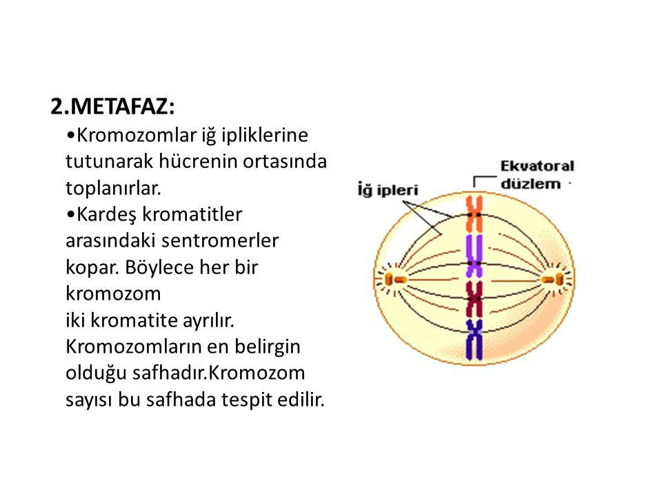 2.METAFAZ: Kromozomlar iğ ipliklerine tutunarak hücrenin ortasında toplanırlar. Kardeş kromatitler arasındaki sentromerler kopar. Böylece her bir krom