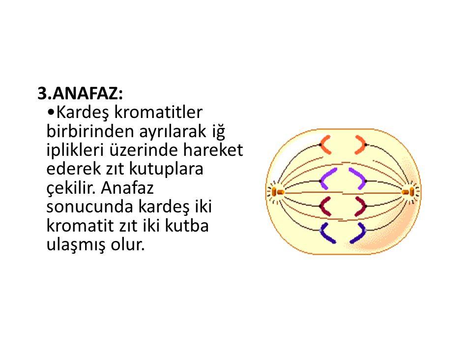 3.ANAFAZ: Kardeş kromatitler birbirinden ayrılarak iğ iplikleri üzerinde hareket ederek zıt kutuplara çekilir. Anafaz sonucunda kardeş iki kromatit zı