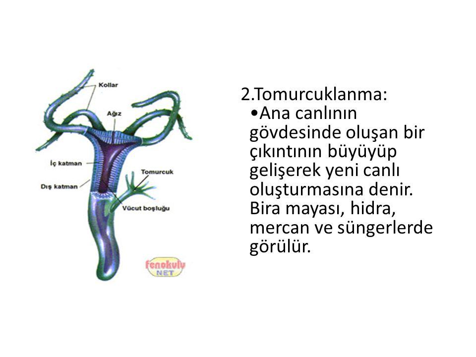 2.Tomurcuklanma: Ana canlının gövdesinde oluşan bir çıkıntının büyüyüp gelişerek yeni canlı oluşturmasına denir. Bira mayası, hidra, mercan ve süngerl