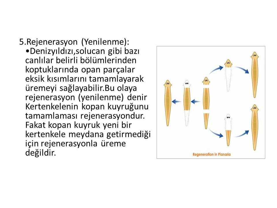 5.Rejenerasyon (Yenilenme): Denizyıldızı,solucan gibi bazı canlılar belirli bölümlerinden koptuklarında opan parçalar eksik kısımlarını tamamlayarak ü