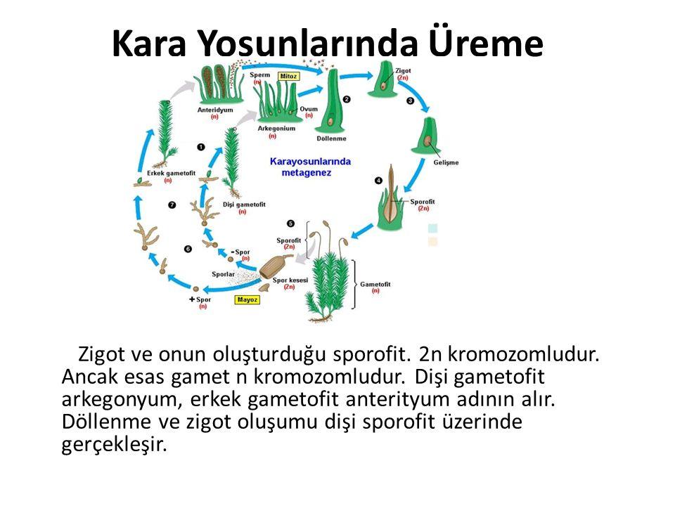Kara Yosunlarında Üreme Zigot ve onun oluşturduğu sporofit. 2n kromozomludur. Ancak esas gamet n kromozomludur. Dişi gametofit arkegonyum, erkek gamet