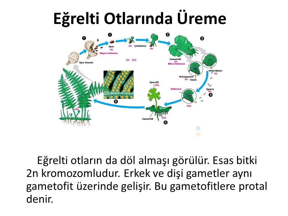 Eğrelti Otlarında Üreme Eğrelti otların da döl almaşı görülür. Esas bitki 2n kromozomludur. Erkek ve dişi gametler aynı gametofit üzerinde gelişir. Bu