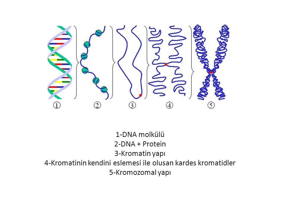 2.İNTERFAZ Hücrenin bölünmeden önce geçirdiği hazırlık evresine interfaz denir.İnterfaz evresinde ; yavru hücrenin büyümesi ve ardından da bölünmesine kadar geçen süreçte meydana gelen olaylar üç evrede incelenmektedir.