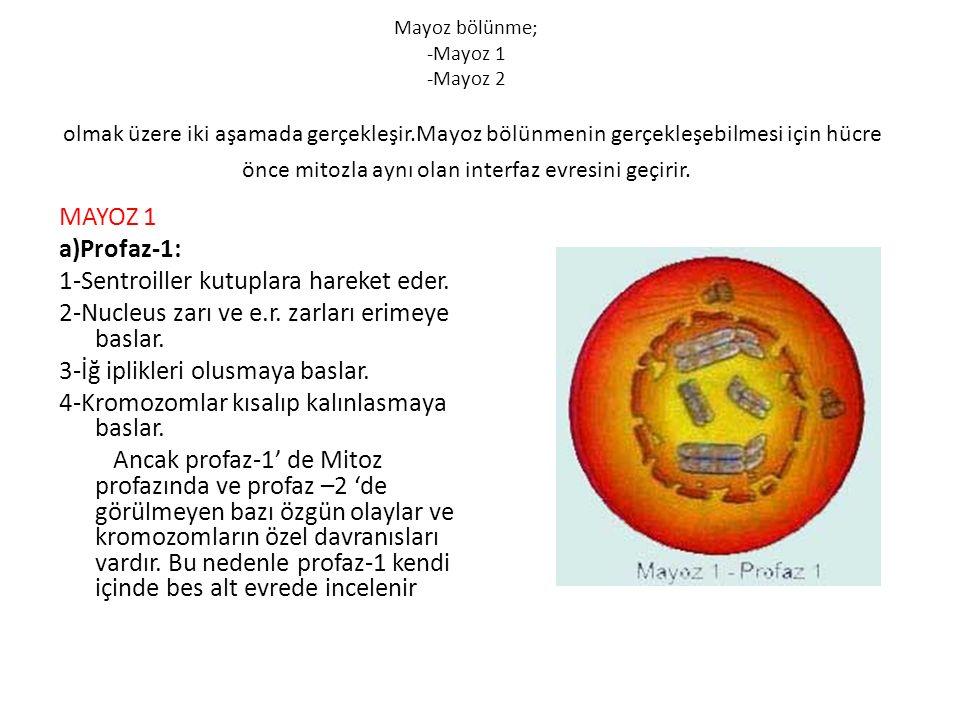 Mayoz bölünme; -Mayoz 1 -Mayoz 2 olmak üzere iki aşamada gerçekleşir.Mayoz bölünmenin gerçekleşebilmesi için hücre önce mitozla aynı olan interfaz evr