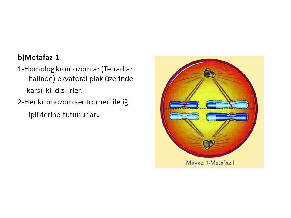b)Metafaz-1 1-Homolog kromozomlar (Tetradlar halinde) ekvatoral plak üzerinde karsılıklı dizilirler. 2-Her kromozom sentromeri ile iğ ipliklerine tutu