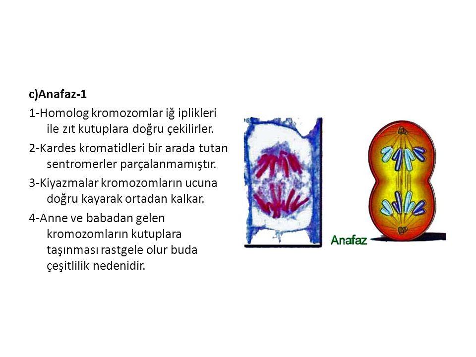 c)Anafaz-1 1-Homolog kromozomlar iğ iplikleri ile zıt kutuplara doğru çekilirler. 2-Kardes kromatidleri bir arada tutan sentromerler parçalanmamıştır.