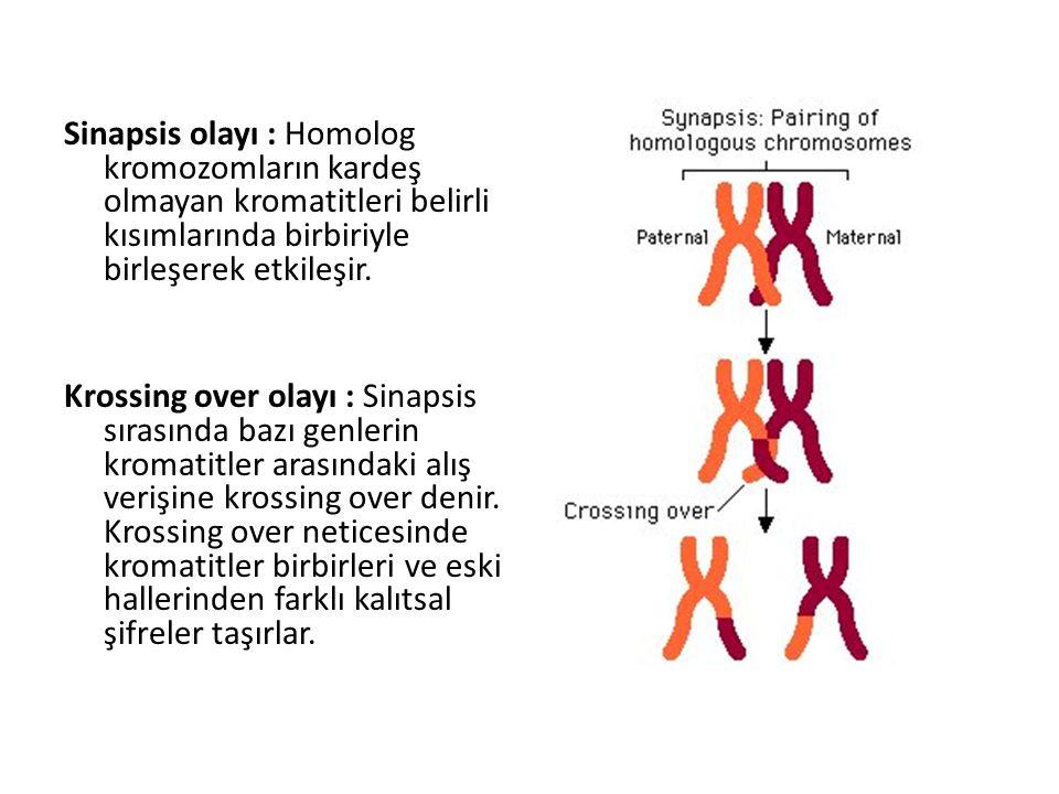 Sinapsis olayı : Homolog kromozomların kardeş olmayan kromatitleri belirli kısımlarında birbiriyle birleşerek etkileşir. Krossing over olayı : Sinapsi