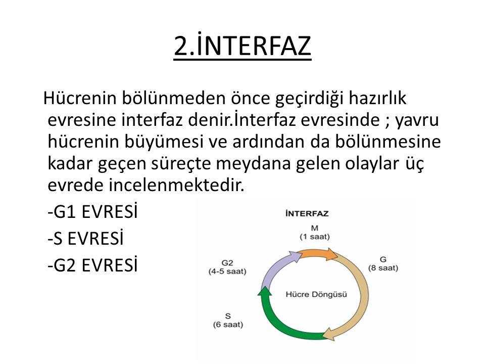 2.İNTERFAZ Hücrenin bölünmeden önce geçirdiği hazırlık evresine interfaz denir.İnterfaz evresinde ; yavru hücrenin büyümesi ve ardından da bölünmesine