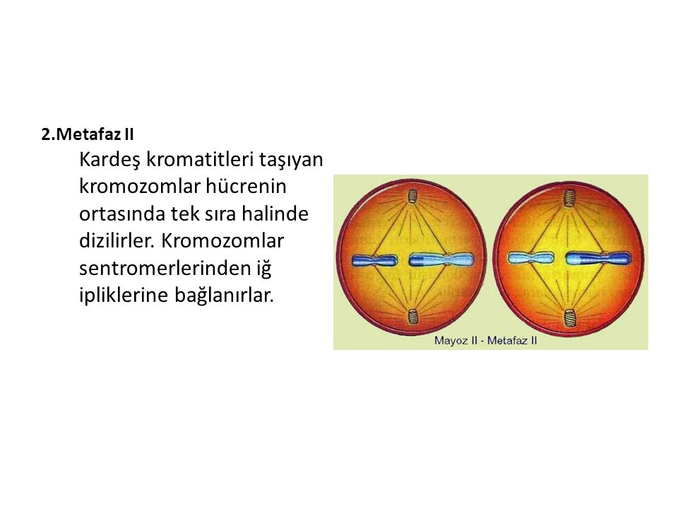 2.Metafaz II Kardeş kromatitleri taşıyan kromozomlar hücrenin ortasında tek sıra halinde dizilirler. Kromozomlar sentromerlerinden iğ ipliklerine bağl