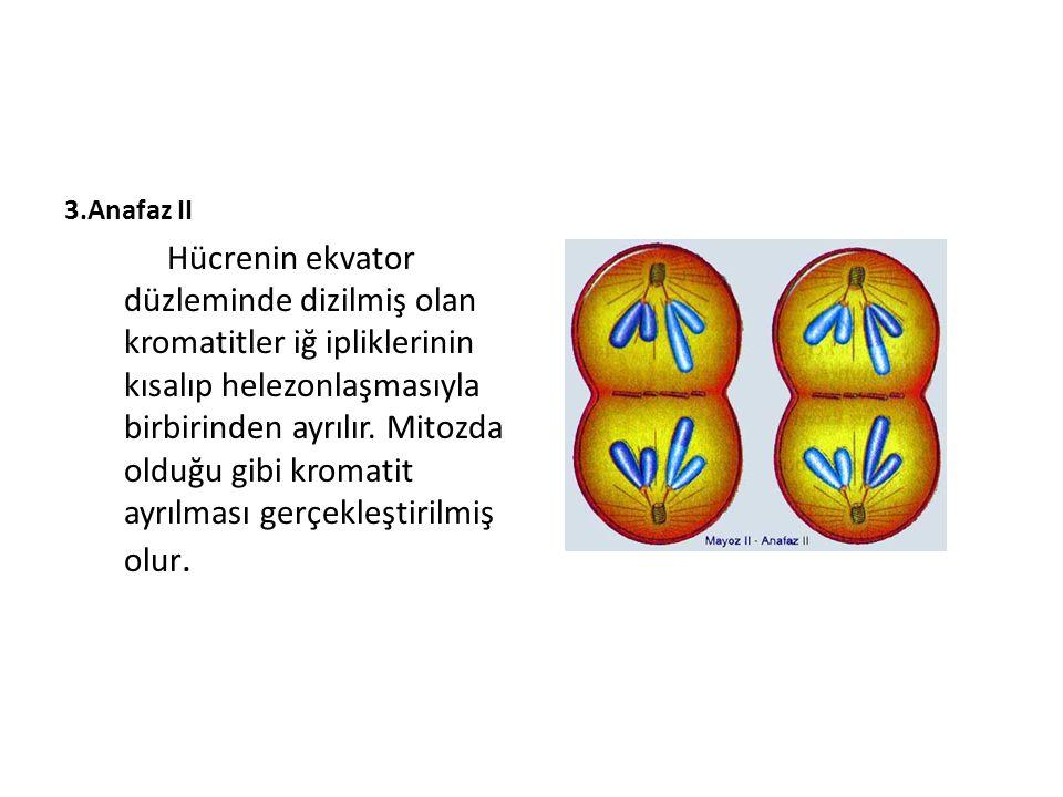 3.Anafaz II Hücrenin ekvator düzleminde dizilmiş olan kromatitler iğ ipliklerinin kısalıp helezonlaşmasıyla birbirinden ayrılır. Mitozda olduğu gibi k