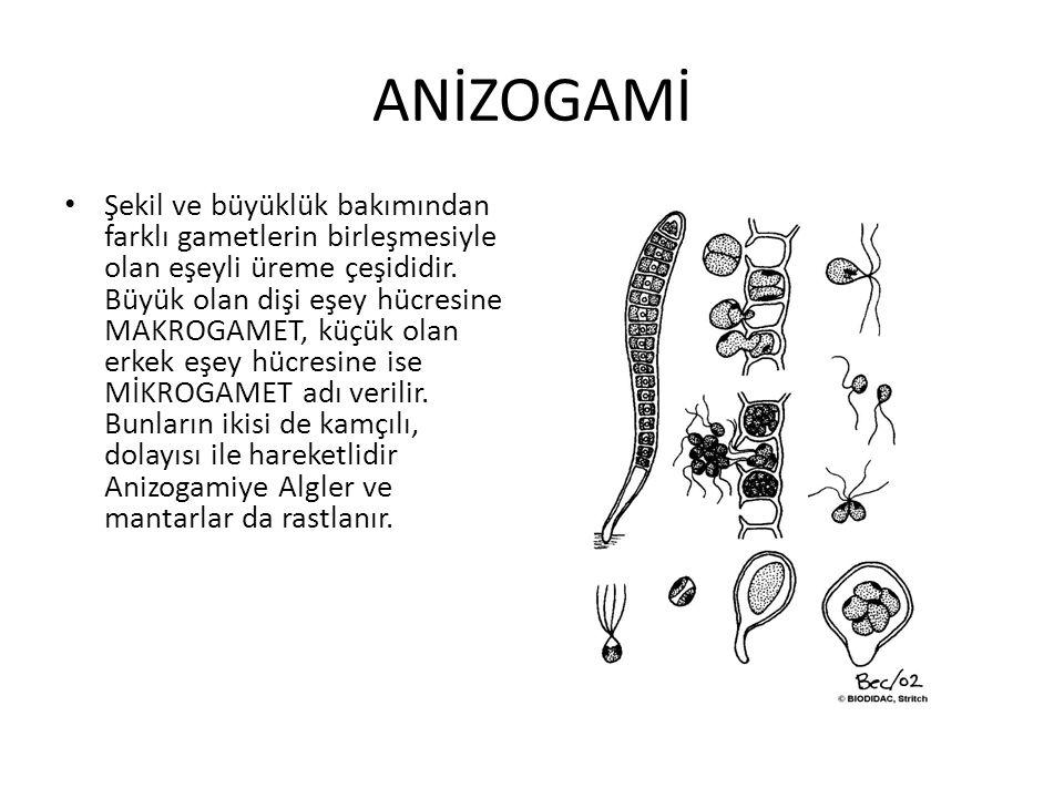ANİZOGAMİ Şekil ve büyüklük bakımından farklı gametlerin birleşmesiyle olan eşeyli üreme çeşididir. Büyük olan dişi eşey hücresine MAKROGAMET, küçük o