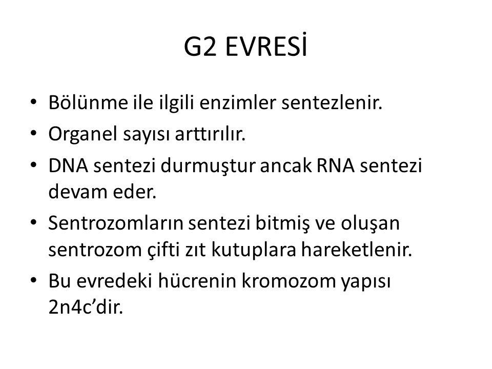 G2 EVRESİ Bölünme ile ilgili enzimler sentezlenir. Organel sayısı arttırılır. DNA sentezi durmuştur ancak RNA sentezi devam eder. Sentrozomların sente