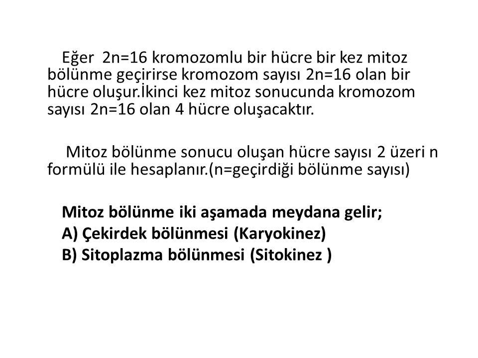 Eğer 2n=16 kromozomlu bir hücre bir kez mitoz bölünme geçirirse kromozom sayısı 2n=16 olan bir hücre oluşur.İkinci kez mitoz sonucunda kromozom sayısı