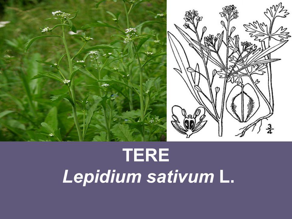 Ekonomik Önemi Anavatanı ve Yayılma Alanları Anavatanı Asya ve Kuzey Afrika olan tere, dereotu gibi tek yıllık sebzeler grubunda yer alan otsu bir bitkidir.
