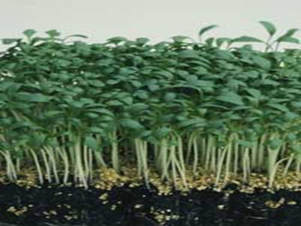 Yaprak Yapısı Ülkemizde yetiştiriciliği yapılan terelerde iki farklı yaprak tipi vardır.