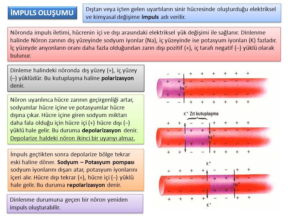 Dıştan veya içten gelen uyartıların sinir hücresinde oluşturduğu elektriksel ve kimyasal değişime impuls adı verilir. Nöronda impuls iletimi, hücrenin