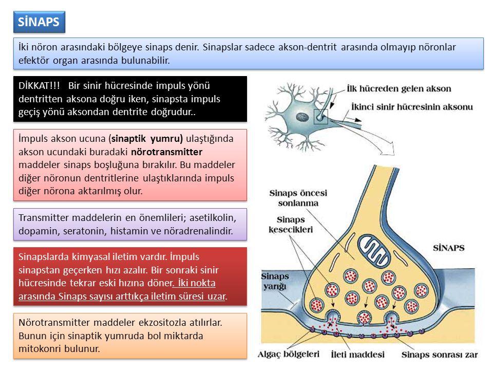 İki nöron arasındaki bölgeye sinaps denir. Sinapslar sadece akson-dentrit arasında olmayıp nöronlar efektör organ arasında bulunabilir. İmpuls akson u