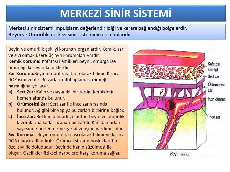Merkezi sinir sistemi impulsların değerlendirildiği ve karara bağlandığı bölgelerdir. Beyin ve Omurilik merkezi sinir sisteminin elemanlarıdır. Merkez