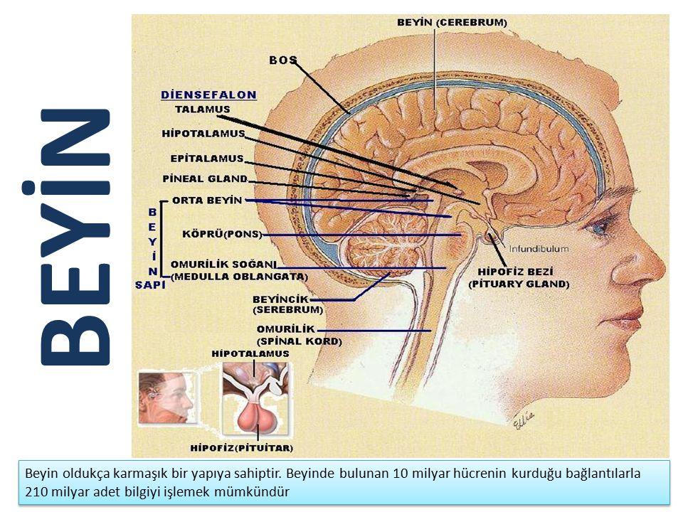BEYİN Beyin oldukça karmaşık bir yapıya sahiptir. Beyinde bulunan 10 milyar hücrenin kurduğu bağlantılarla 210 milyar adet bilgiyi işlemek mümkündür