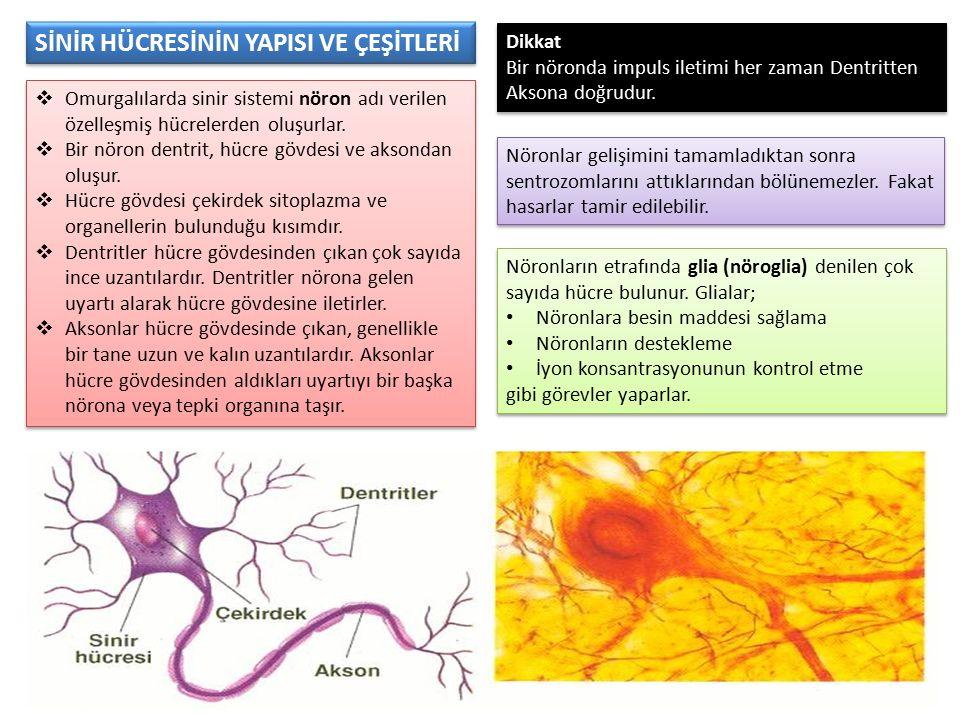 SİNİR HÜCRESİNİN YAPISI VE ÇEŞİTLERİ  Omurgalılarda sinir sistemi nöron adı verilen özelleşmiş hücrelerden oluşurlar.  Bir nöron dentrit, hücre gövd