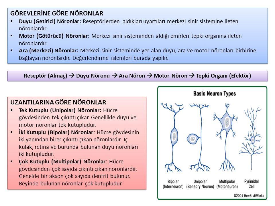 GÖREVLERİNE GÖRE NÖRONLAR Duyu (Getirici) Nöronlar: Reseptörlerden aldıkları uyartıları merkezi sinir sistemine ileten nöronlardır. Motor (Götürücü) N