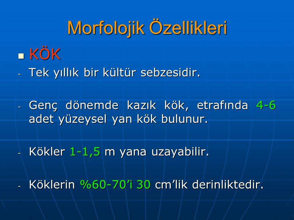 Morfolojik Özellikleri KÖK KÖK - Tek yıllık bir kültür sebzesidir. - Genç dönemde kazık kök, etrafında 4-6 adet yüzeysel yan kök bulunur. - Kökler 1-1