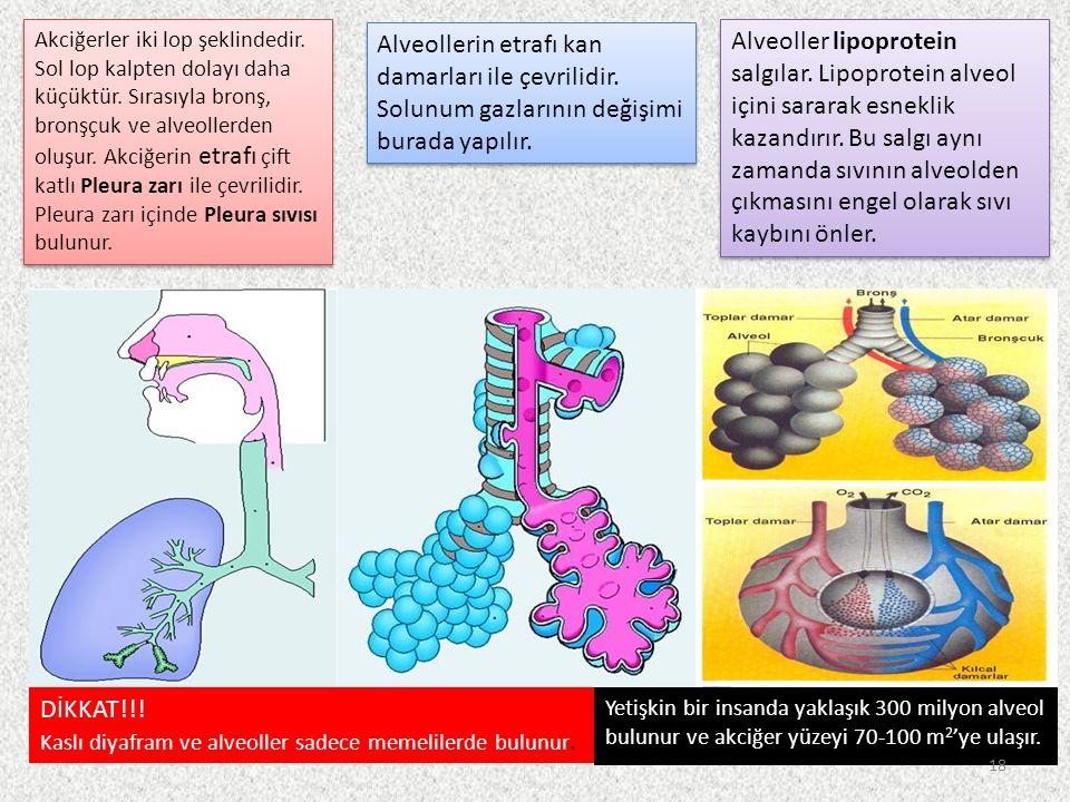 DİKKAT!!. Kaslı diyafram ve alveoller sadece memelilerde bulunur.