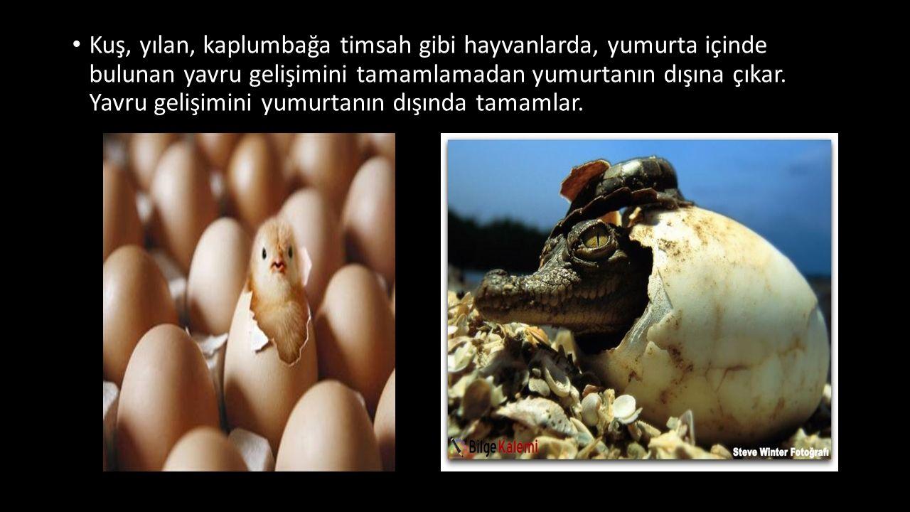 Kuş, yılan, kaplumbağa timsah gibi hayvanlarda, yumurta içinde bulunan yavru gelişimini tamamlamadan yumurtanın dışına çıkar. Yavru gelişimini yumurta