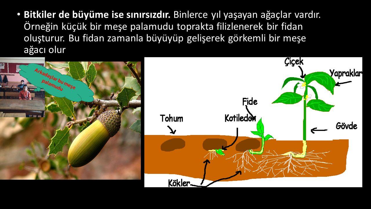 Bitkiler de büyüme ise sınırsızdır. Binlerce yıl yaşayan ağaçlar vardır. Örneğin küçük bir meşe palamudu toprakta filizlenerek bir fidan oluşturur. Bu