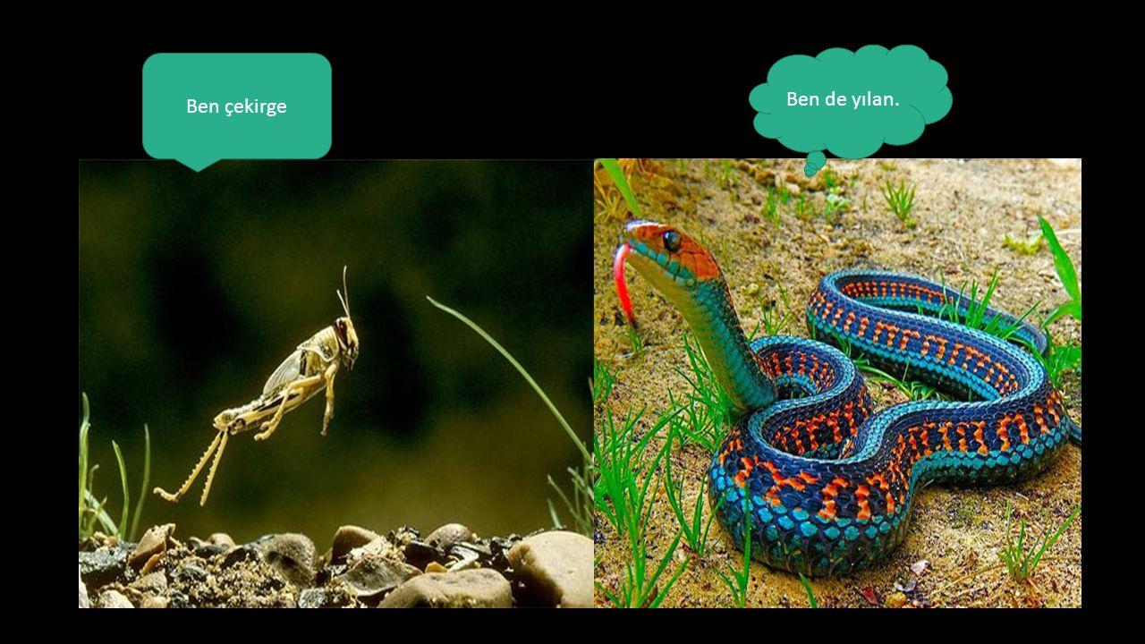 Ben çekirge Ben de yılan.