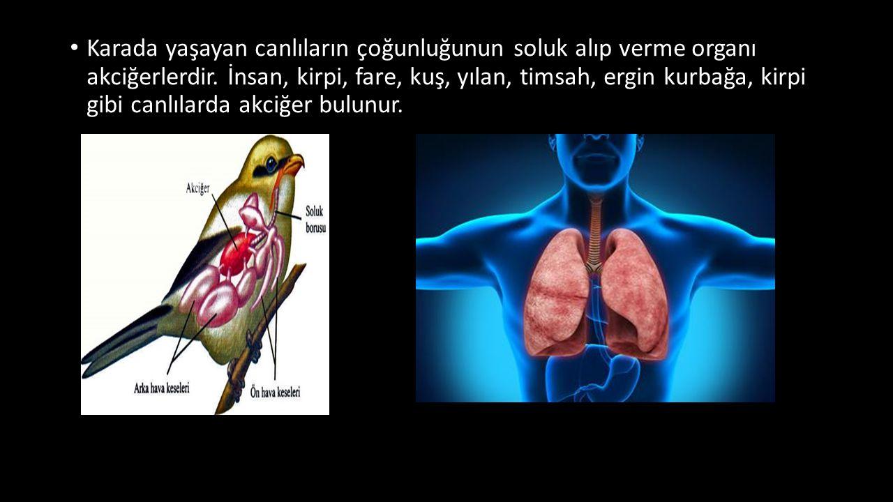 Karada yaşayan canlıların çoğunluğunun soluk alıp verme organı akciğerlerdir. İnsan, kirpi, fare, kuş, yılan, timsah, ergin kurbağa, kirpi gibi canlıl