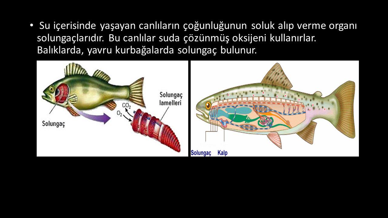 Su içerisinde yaşayan canlıların çoğunluğunun soluk alıp verme organı solungaçlarıdır. Bu canlılar suda çözünmüş oksijeni kullanırlar. Balıklarda, yav