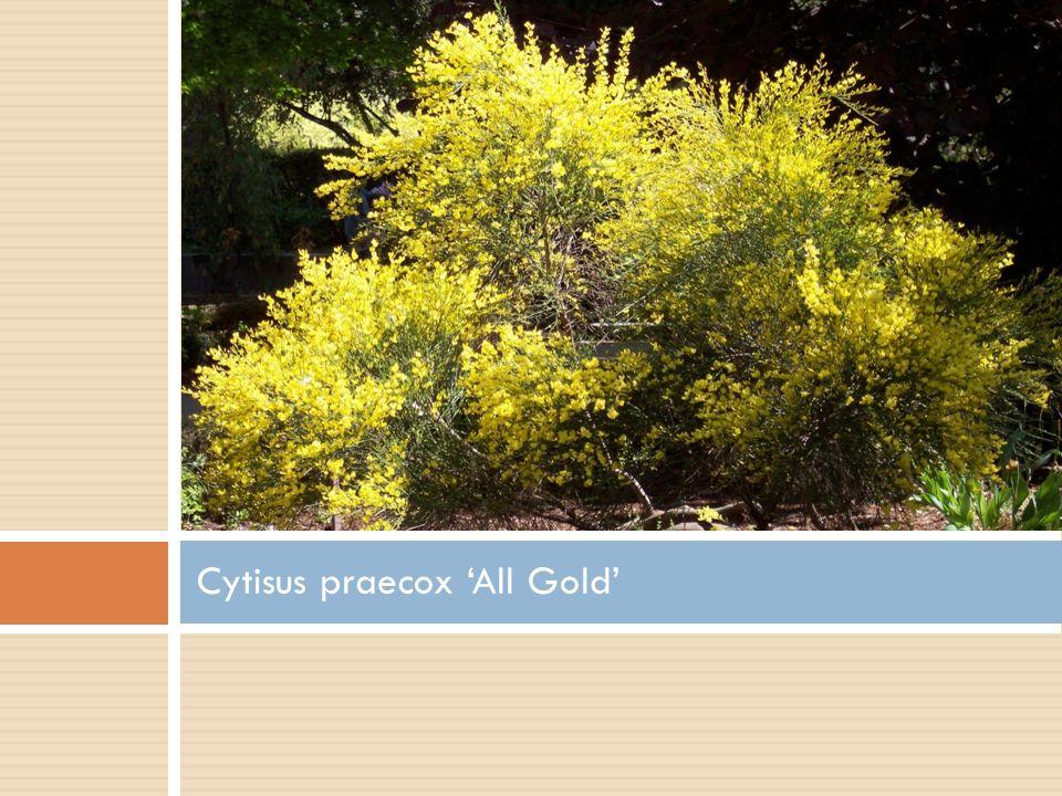Cytisus praecox 'All Gold'