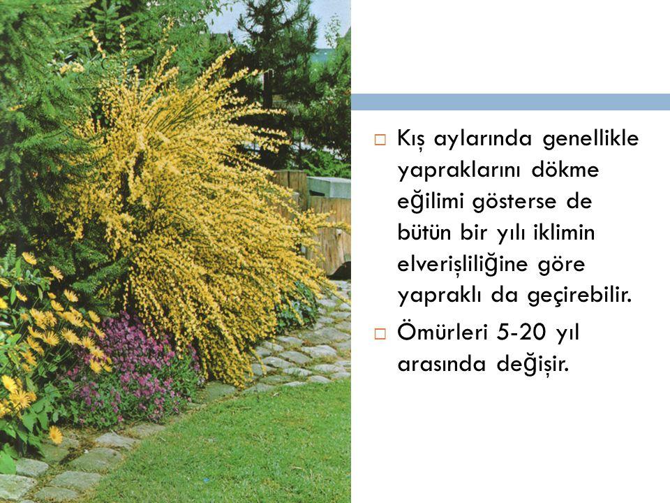 Kış aylarında genellikle yapraklarını dökme e ğ ilimi gösterse de bütün bir yılı iklimin elverişlili ğ ine göre yapraklı da geçirebilir.  Ömürleri