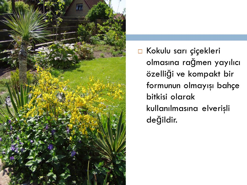  Kokulu sarı çiçekleri olmasına ra ğ men yayılıcı özelli ğ i ve kompakt bir formunun olmayışı bahçe bitkisi olarak kullanılmasına elverişli de ğ ildi