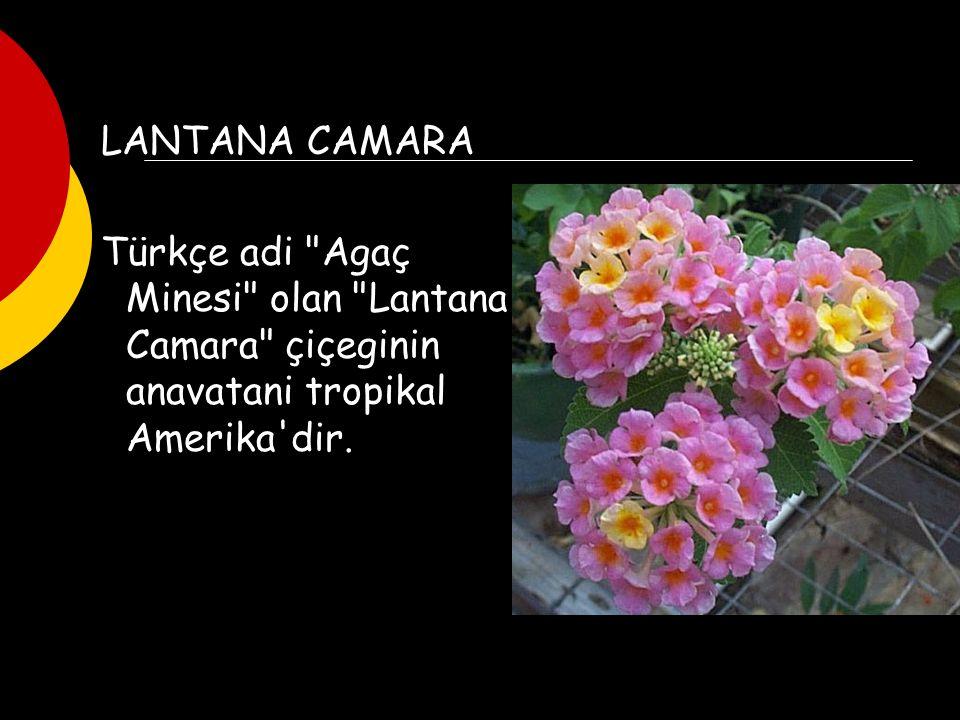 LANTANA CAMARA Türkçe adi